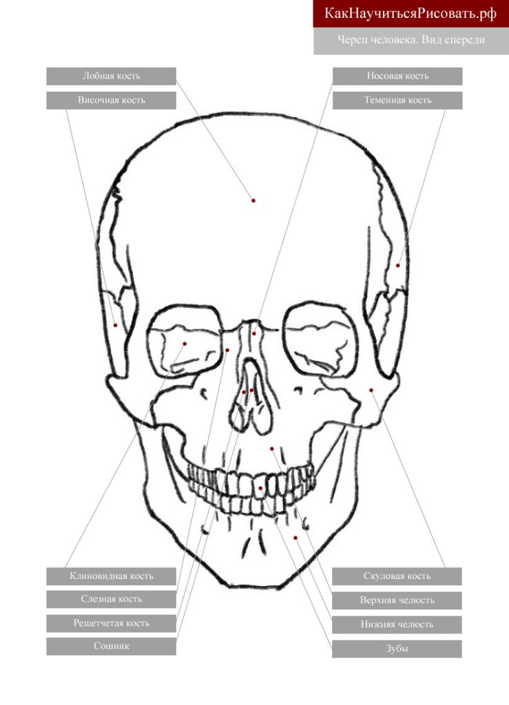 Череп человека. Вид спереди